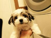 Adorable malti/peekapoo puppies, pee pad trained,