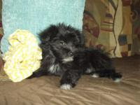 Malti-pom ready for their forever home. She were born