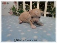 Dillon is a light apricot boy Est adult size 5.5 to 6.5