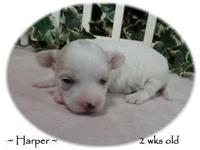 Harper is white with light apricot marking on her face
