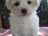 MALTI-POO PUPPIES ARE KNOWN TO BE HYPO-ALLERGENIC. THEY