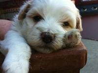 BEAUTIFUL Malti-Poo puppies (mostly maltese). Mother is