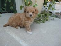 Malti Poo Puppies - SOLD We Also Have a 7 Week Old
