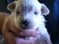 I have 2 malti poo puppies. The mother is a 4 pound