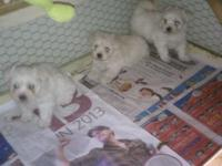 We have Malti poo puppies prepared to go, they are 3/4