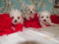 We have a trash of Malti poo's all set for there for