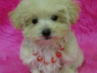 Females available. 1st Generation. Malti-Poo Puppies.