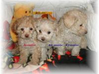 Malti.poo puppies. Household raised in our home. Mom is