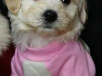 Malti-Poos Puppies Available July 27th, 2013 5 Females