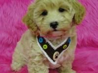 Man and Female Malti-Poo Puppies !!! All my new puppies