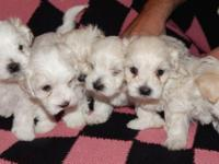 Six Malti-poo puppies, Born October 14th, 2014 will