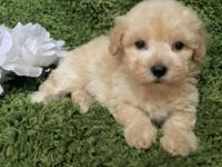 Gorgeous Maltipoo (Maltese Poodle Mix only) ready to go
