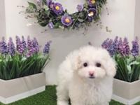 Breed: Maltipoo (Maltese & Poodle Mix) Nickname: Lily
