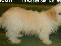 "MALTI POO Male #4 (MP-M4) ""Lyncon"" DOB: September 30,"