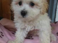 AVERY IS A MALTESE/MINIATURE POODLE HYBRID. HE IS A