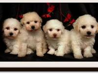 I HAVE MALE AND FEMALE, THESE ARE MALTESE MIXED WITH