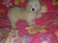 beautiful puppy. maltipoo , female , 11 weeks old.