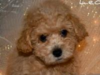 Leo is an adorable male Maltipoo puppy. He is ready for