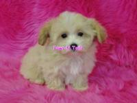 Luke is a MALTIPOO male, only 2.06 lbs, Maltese mom and