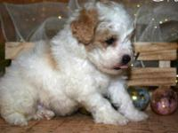 Grace is a beautiful female Maltipoo puppy. She has