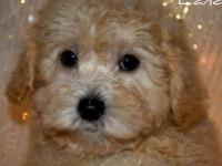 Landon is very adorable and sweet Maltipoo puppy. He is