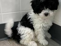 We have one little black and white female available. We