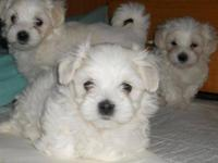 Toy and Teacup Malti-poo Puppies 4-8 lbs at maturity.
