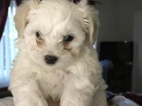She is a white maltipoo puppy with cream colored ears.