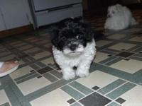 Malti Poo female 550.00, Schnauzer boy 600.00, Cocker