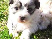 Only 1 left!! Malti-tzu male puppy will be ready for