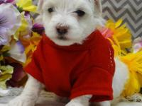 Plymouth is a super adorable, baby Maltipoo. He is a
