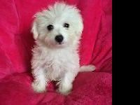 I have 4 of the cutest Maltese/Bichon (Maltichon)