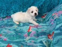 MALTICHON - Aimee is a Maltichon (Bichon Frise and