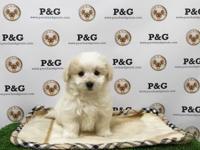 Breed: Maltipom (Maltese & Pomeranian