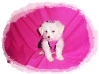 Beautiful MaltiPom Puppies. Cute and cuddly with an