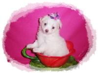 Stunning MaltiPom Puppies. Adorable and cuddly with a
