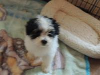 I HAVE 1 LADY MALTIPOO, ALL UTD ON SHOTS AND WORMER,