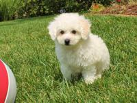 Say hey there to 'Bradley', our stunning male MaltiPoo