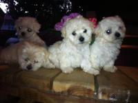 Tiny Teddy Bear Faced Puppies, 8weeks aged, only 4