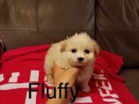Breed:  Maltipoo (Maltese & Poodle Mix) Nickname: