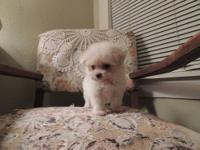 "Adorabel ""TINY"" maltipoo female available. She was born"