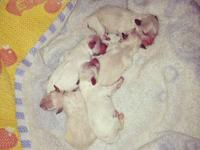 1st Generation Maltipoo's Born October 6th. there are 3