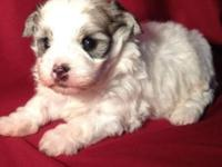 I have an attractive lady and male Malti poo. They have