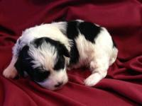 I have a lovely female and male Malti poo. They have