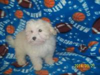 Maltipoo Small male white,with apricot full of energy,