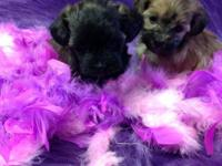 We have all colors, puppies all set now - dec6, puppies