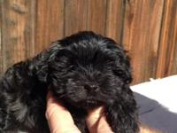 I'm a Rare Black Maltipoo and I'm Lovable!! Female with