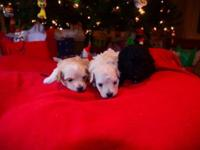 Four Maltipoo children remaining born 11/23/2014. One
