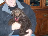 Lovely 4 month old female Maltipoo requires forever