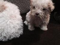 I have a 3 females maltipoo poodle and Maltese dewormed